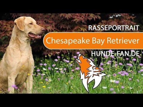 Chesapeake Bay Retriever [2019] Rasse, Aussehen & Charakter