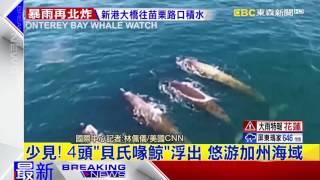 最新》少見!4頭「貝氏喙鯨」浮出 悠游加州海域