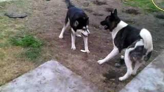 Siberian Husky And American Akita Wrestling