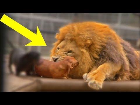 Собака попала в клетку со львом, реакция зверя просто поразила