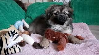 Tibetan Spaniel  puppy • I LOVE ❤ Lucy