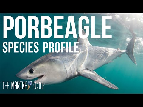 PORBEAGLE SHARK | Shark Profile #1