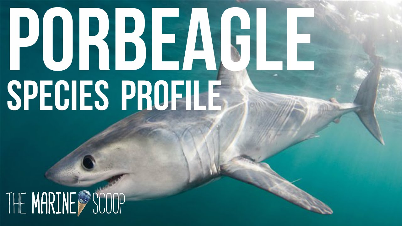 porbeagle shark shark profile  porbeagle shark shark profile 1