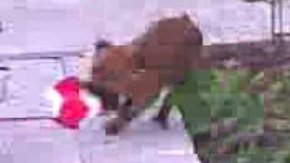Boxer Yavru 2 Aylık