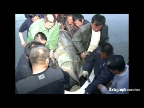 Monster of the deep: Giant fish caught alive in Chinese river
