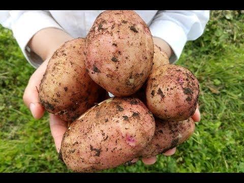 Выращивание суперраннего картофеля
