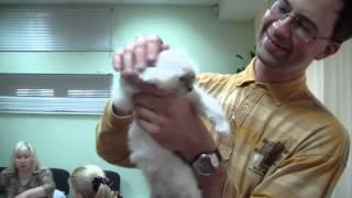 Бирманская порода кошек (Священная бирма) системы PCA