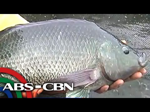 Bandila: Nueva Ecija University Breeds 'best' Tilapia Species