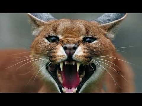 Топ 10 самых редких пород кошек на свете