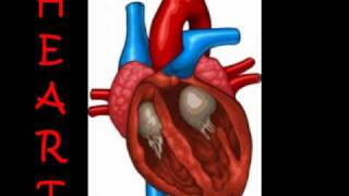 Relationship between the respiratory system and the cardiovascular system