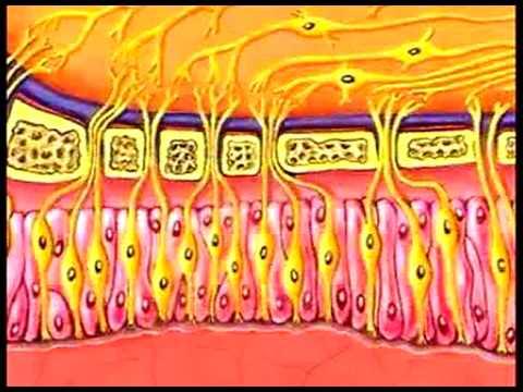 hqdefault - Les effets de l'âge sur les différentes modalités sensorielles et activités perceptives : La gustation, l'olfaction, la kinesthésie