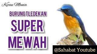 3 Burung Tledekan Super Mewah