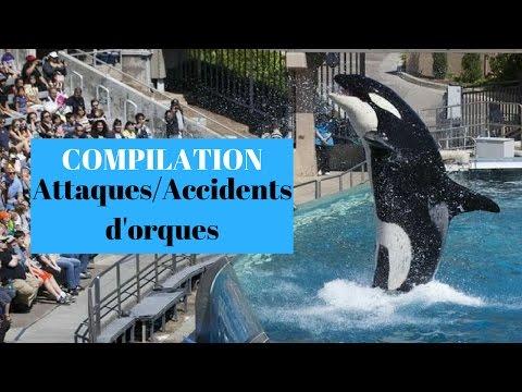 [Compilation] ATTAQUES/ACCIDENTS D'ORQUES