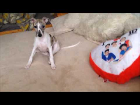 Day in the life of a whippet puppy
