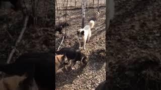 Про жЫрных собак и мясную диету!