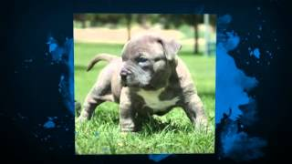 Pitbull Guard Dog Training