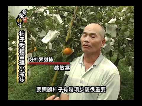 嘉義縣番路鄉特色伴手禮--甜柿、牛心柿(水柿)、紅柿、柿餅