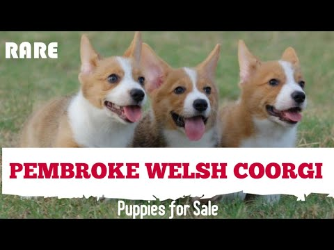 RARE: Pembroke Welsh Coorgi Puppy for Sale in India. Coorgi Puppies in India.