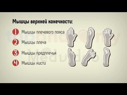 Мышцы плечевого пояса болят