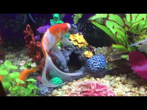 My 75 Gallon Aquarium Comet Goldfish 🐟