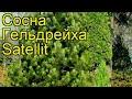 Сосна гельдрейха Сателлит. Краткий обзор, описание pinus heldreichii / leucodermis Satellit