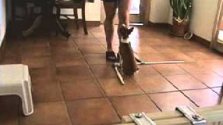 Puppy Basenji Obedience Training