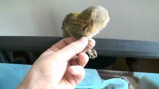 Pygmy Marmoset ピグミーマーモセット