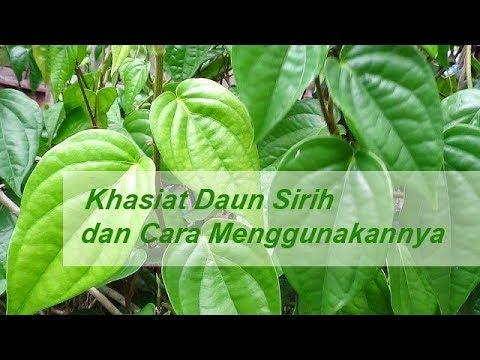 obat-sipilis-alami-daun-sirih