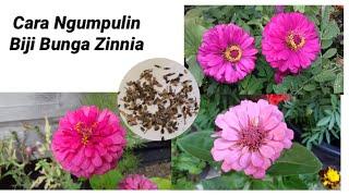 Cara Ngumpulin Biji Bunga Zinnia / Kembang Kertas ||