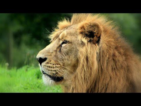 Visitantes flagram homem sendo atacado por leão em parque | Primeiro Impacto (02/05/18)