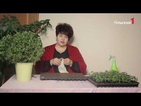 черенкование хризантемы