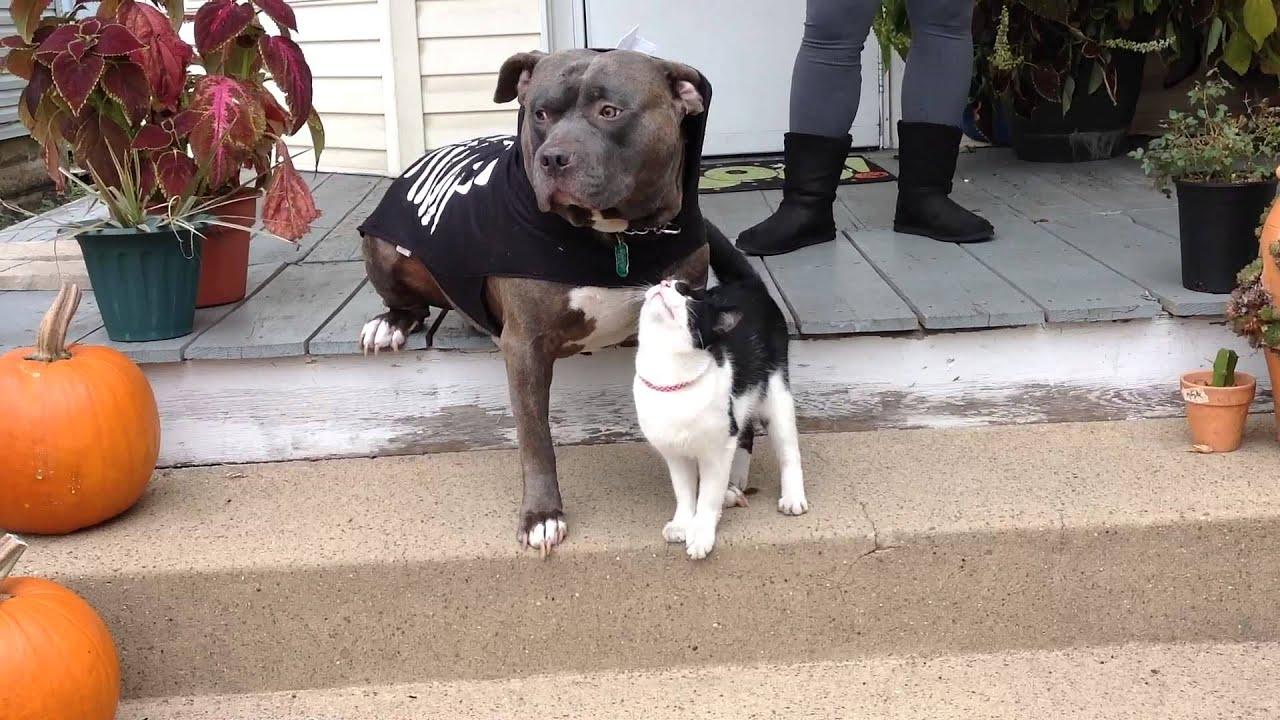 Cat attacks a pitbull in a costume with love, Awwww alert ...