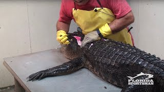 Repeat youtube video How to Clean, Fillet, Debone and Skin an Alligator