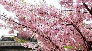 淀の河津桜で ひと足早くお花見気分🌸🍶✨ thumbnail