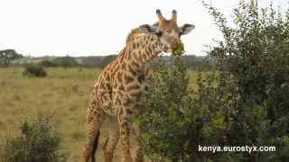 Жираф ест кустарник (Giraffe eating bush)
