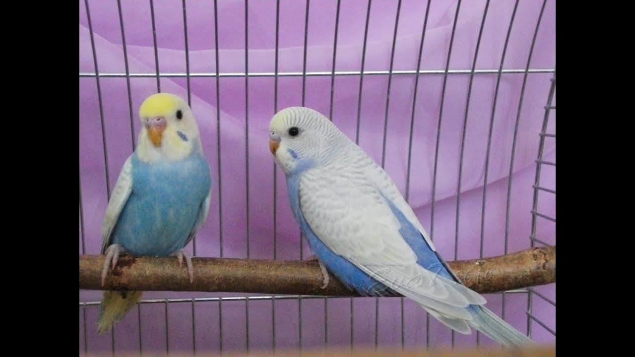 Волнистые попугаи.г Николаев - YouTube