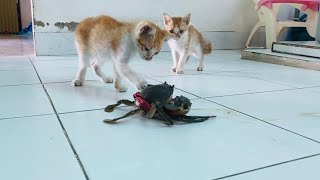 The reaction of 2 cats when they see the crab