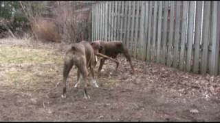 Boxer Dog And Doberman Pinscher Playing With A Stick