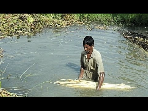 The Amazing Story of the Bengali Jute Harvest