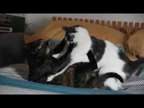 Sibling cats fighting with each other