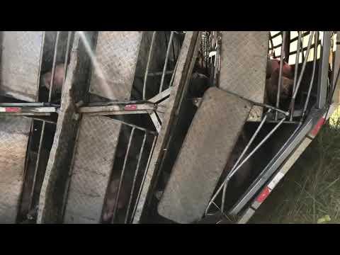 Carreta carregada com 160 suínos tomba na rodovia em Patrocínio