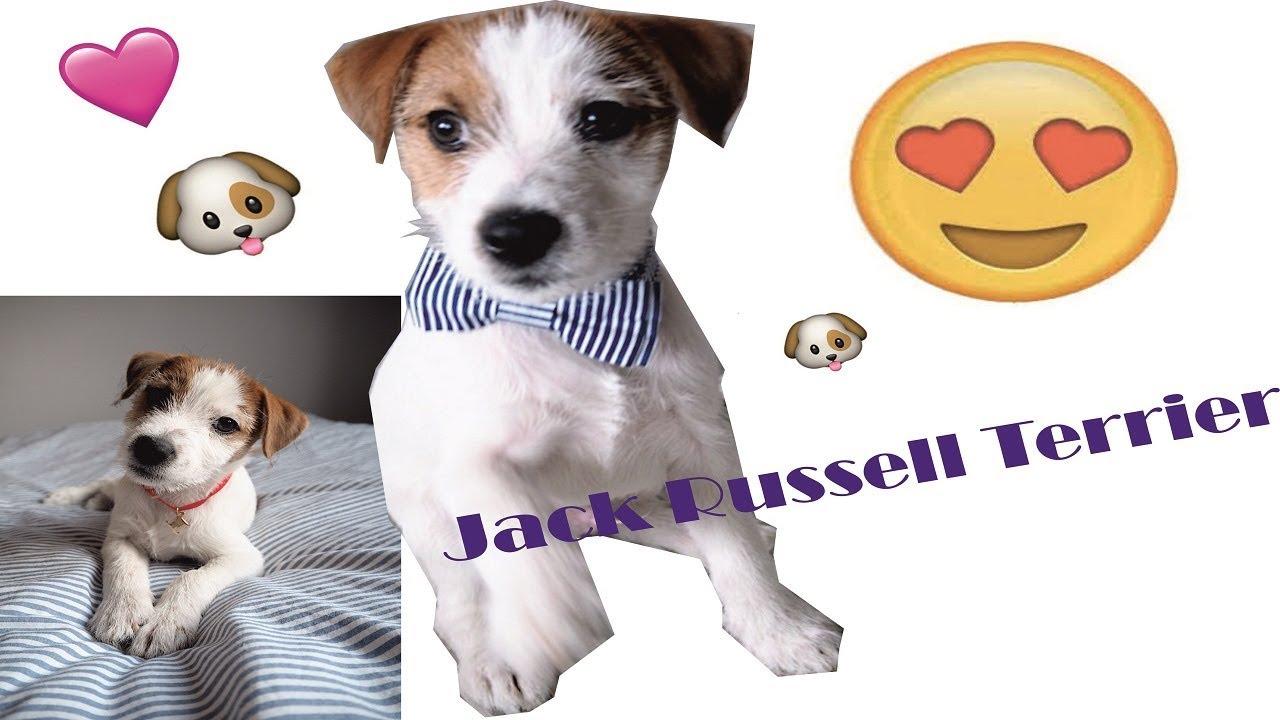Bardzo dobra Zabawny Szczeniak Jack Russell Terrier szczeka - YouTube KB65