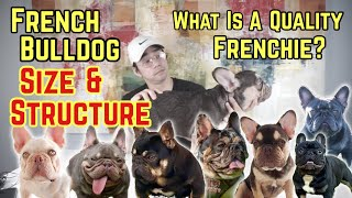 French Bulldog Size & Structure   What Is A Quality Frenchie? VLOG 28