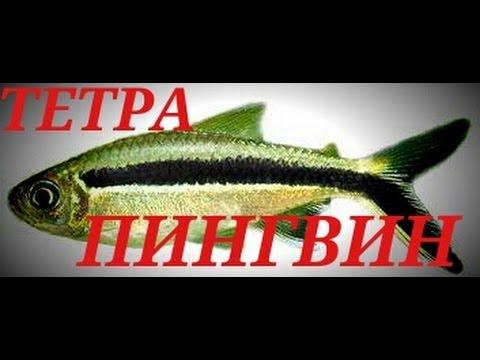 Аквариумные рыбки. ТЕТРА ПИНГВИН.ТАЙЭРИЯ КРИВОПОЛОСАЯ