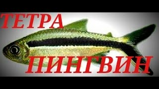 Аквариумные рыбки. ТЕТРА ПИНГВИН.ТАЙЭРИЯ КРИВОПОЛОСАЯ(группа вконтакте- https://vk.com/club.acva Тетра пингвин в живой природе обитает в Южной Америке в бассейне реки Амазо..., 2016-04-28T19:42:34.000Z)