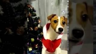 Собака разговаривает ( поздравление с Новым Годом )