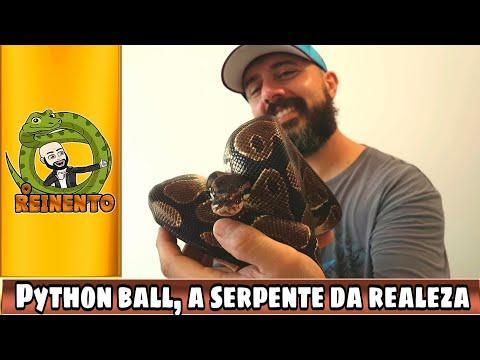 Python ball: A serpente da realeza