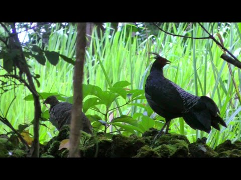 Scream-like Call of Wild Kalij Pheasants | Lophura leucomelanos | Video