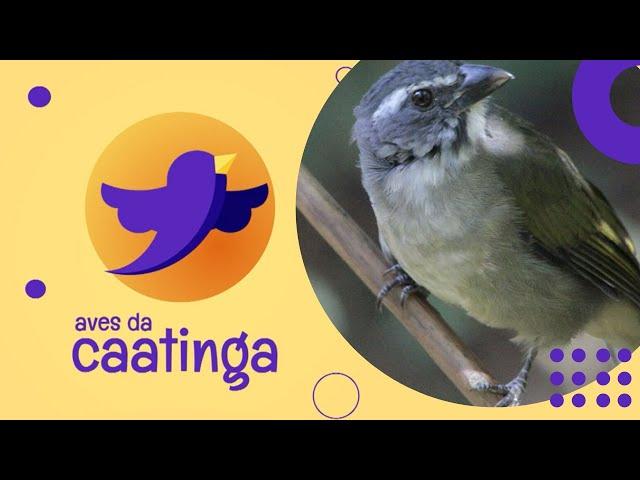 AVES DA CAATINGA #01 - Trinca-Ferro (Saltator similis)