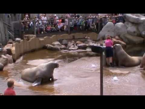 Amazing Walrus - See What Walrus Can Do ! Sit Up , Push Up and More!